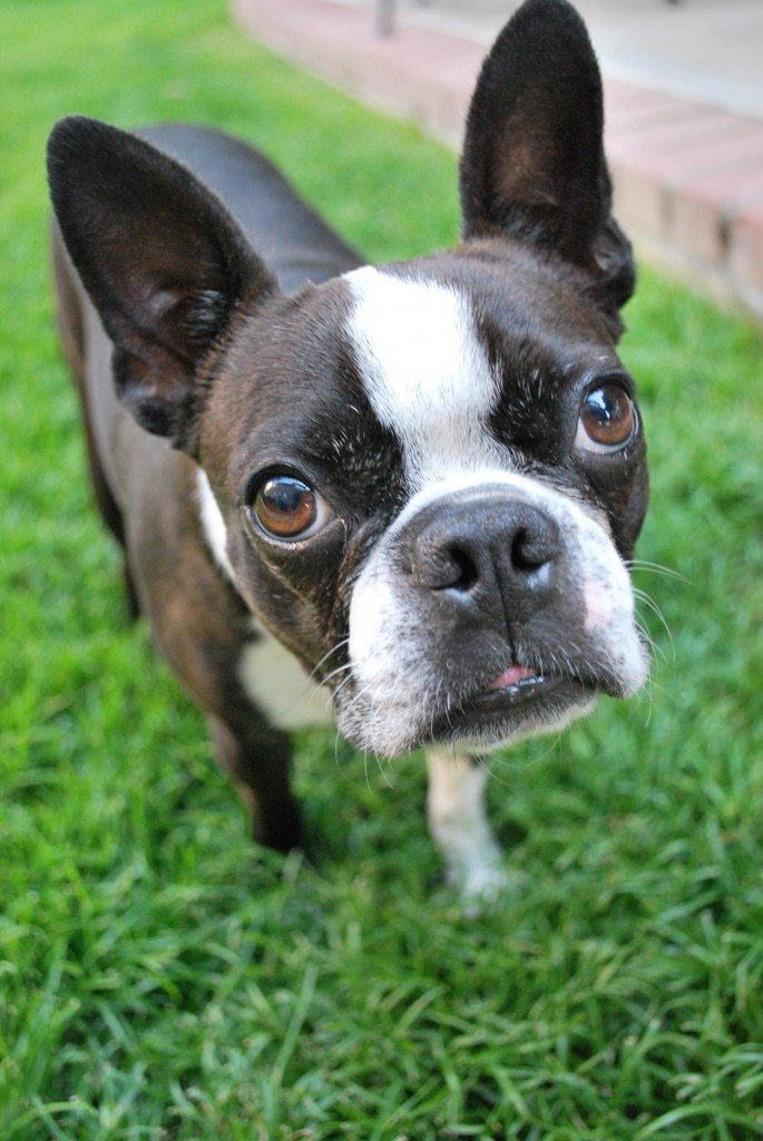 A Boston terrier dog standing on the grass looking upwards.