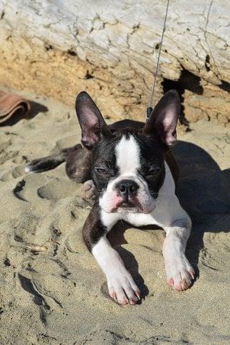 A dog lying on the sand.